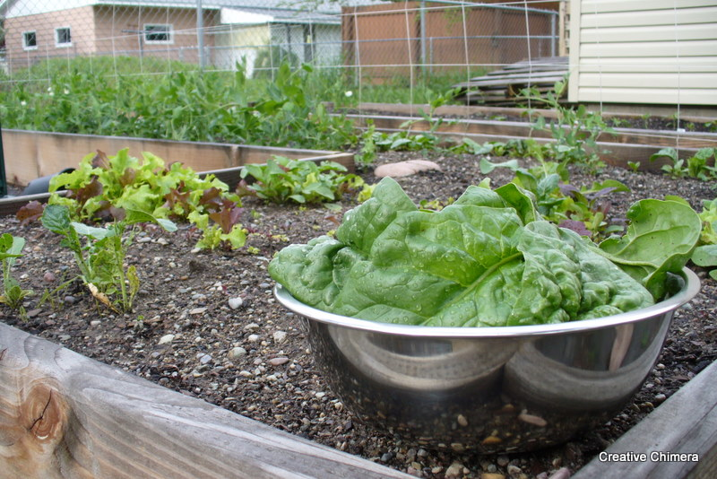 Spinach and the salad garden