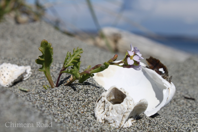 Okay, so I arranged this one, but I loved the juxtaposition of the bleached shells with the tiny purple flower.