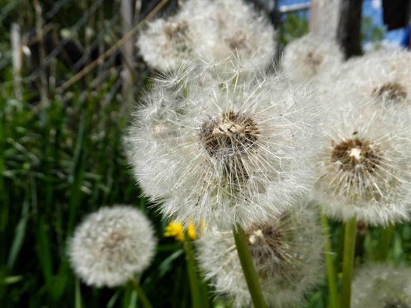 How many wishes can one dandelion puff make come true?